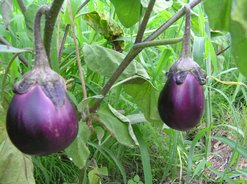 紫水茄子(なす)